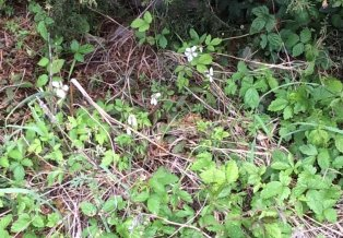 vine of green